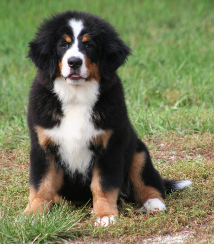 Welcome To Holiday Bernese Mountain Dogs